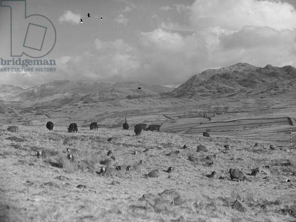 A view of sheep and cattle grazing on Birken Moor, farmland and fells in the background, 1930s-60s (b/w photo)