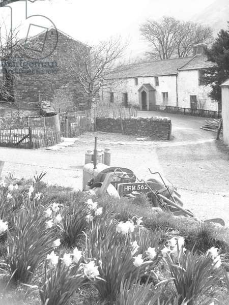 In the foreground are daffodils and a tractor, in the background is a dry stone wall and buildings, 1930s-60s (b/w photo)