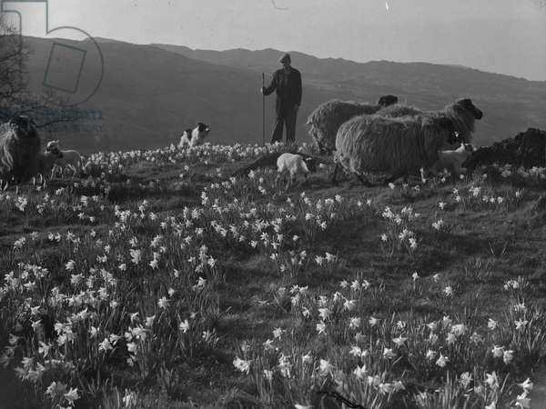 A shepherd tends to sheep and lambs in a field of daffodils accompanied by his sheepdog, fells in the background, 1930s-60s (b/w photo)