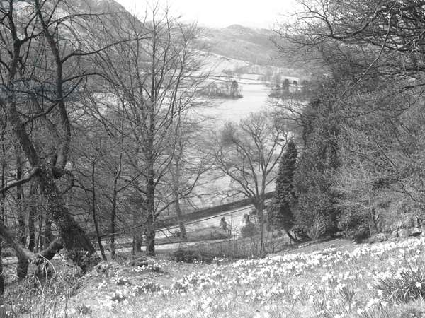 A view looking across a hillside of daffodils towards a lake and fells, 1930s-60s (b/w photo)