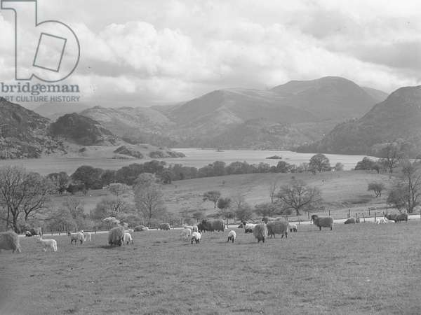 A view of sheep and lambs grazing in a field near to Ullswater lake, fells in the background, 1930s-60s (b/w photo)