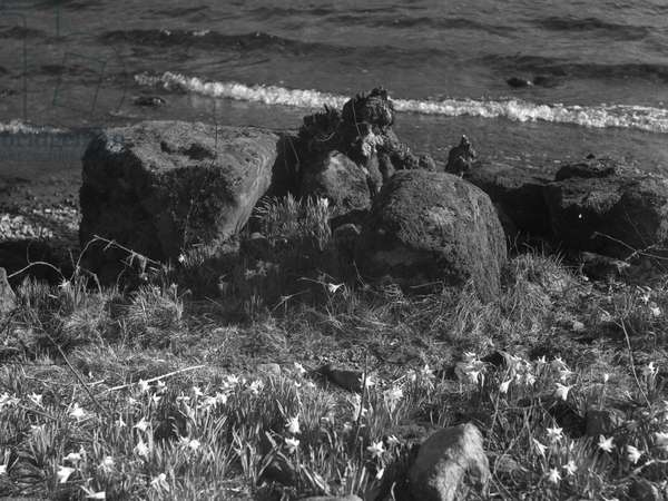 A view of daffodils growing around some rocks at the waters edge, 1930s-60s (b/w photo)