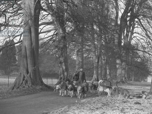 A view of men walking with a large group of Otter Hounds, 1930s-60s (b/w photo)