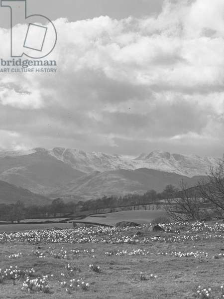 A view across a field of daffodils with farmland and snow capped fells in the background, 1930s-60s (b/w photo)