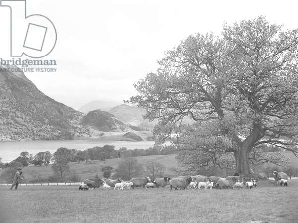 A shepherd herds sheep and lambs in a field near to Ullswater lake, fells in the background, 1930s-60s (b/w photo)