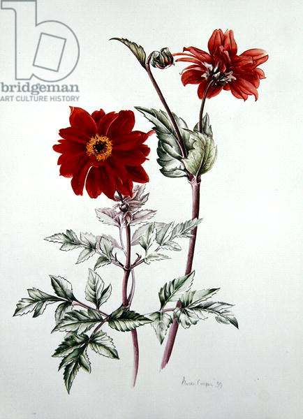 Dahlia 'Bishop of Llandaff', 1999 (w/c on paper)
