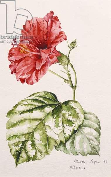 Hibiscus (crimson), 1992 (w/c)