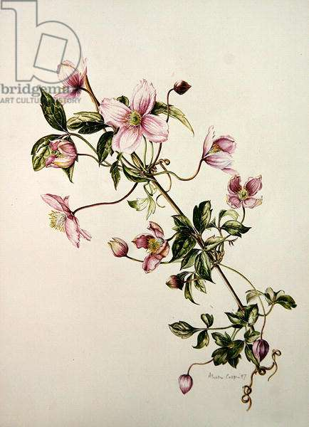 clematis montana rosa, 1997 (w/c on paper)