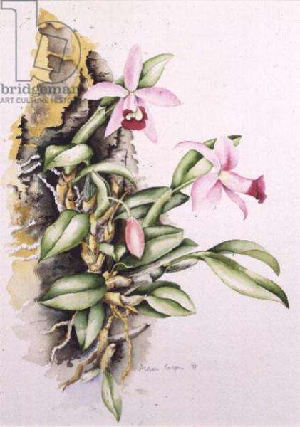 Orchid: Laelia pumila, by Alison Cooper (living artist)