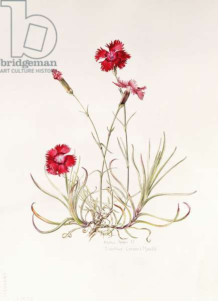 Dianthus Caesar's Mantle, 1997 (w/c on paper)
