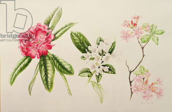 Rhododendron, 1998 (w/c on paper)