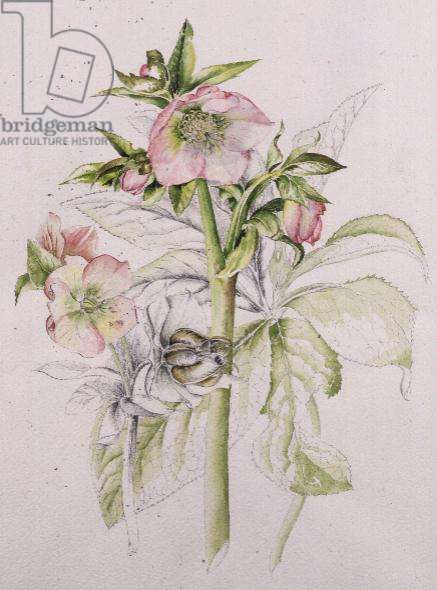 Hellebores from Helen Ballard,1996, watercolour