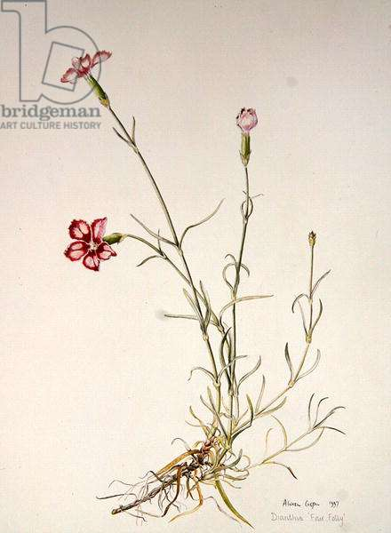 Dianthus 'Fair Folly', 1997 (w/c on paper)