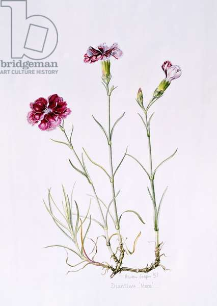 Dianthus 'Hope', 1997 (w/c on paper)
