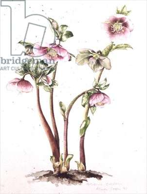Lenten Rose: Helleborus orientalis (w/c)