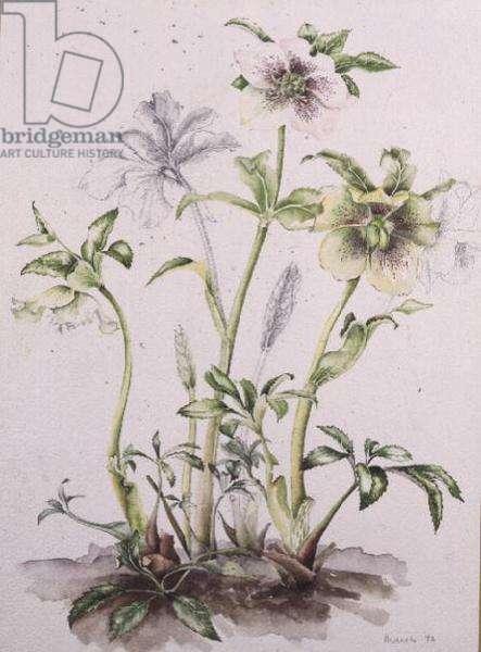 Helleborus orientalis subsp. guttatus, 1992