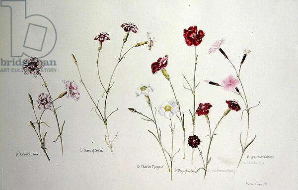 Dianthus, 1997 (w/c on paper)