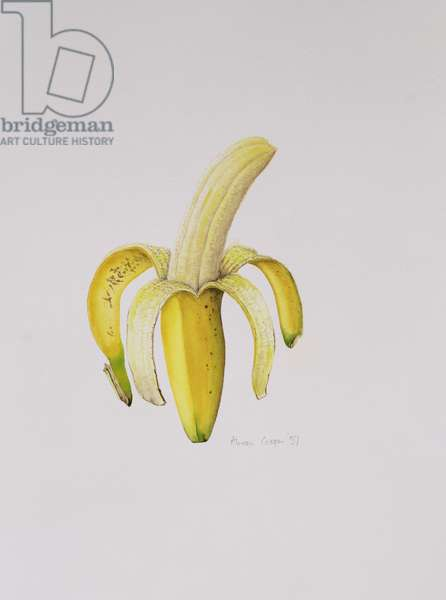 A Half-peeled Banana, 1997 (w/c on paper)