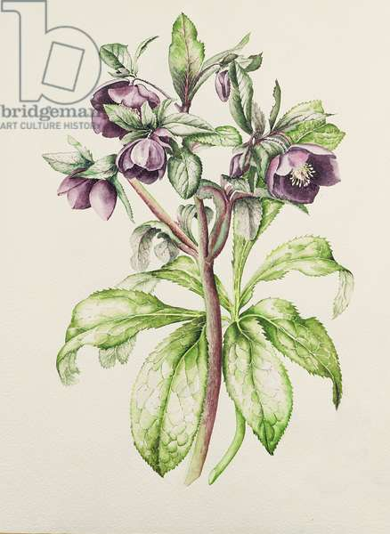 Helleborus Orientalis from Helen Ballard (dark purple flowers)