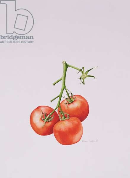 Three Tomatoes on the Vine, 1997 (w/c on paper)