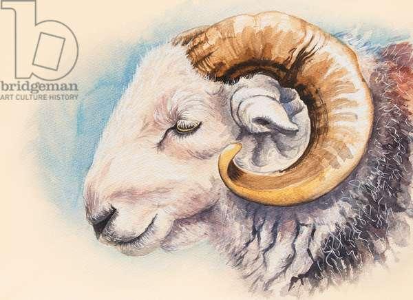 A Herdwick Ram