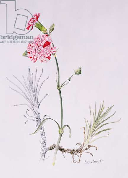 Old Variety of  Dianthus, 1997 (w/c on paper)