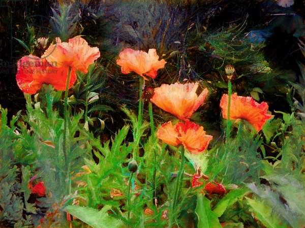 Peachy Poppies, 2020, (painting)