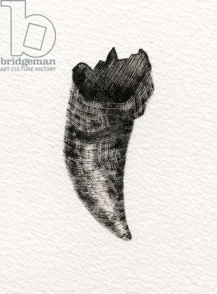 Feline Tooth, 2014, (wood engraving on paper)