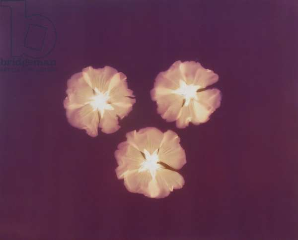 Three Camellias (photogram)