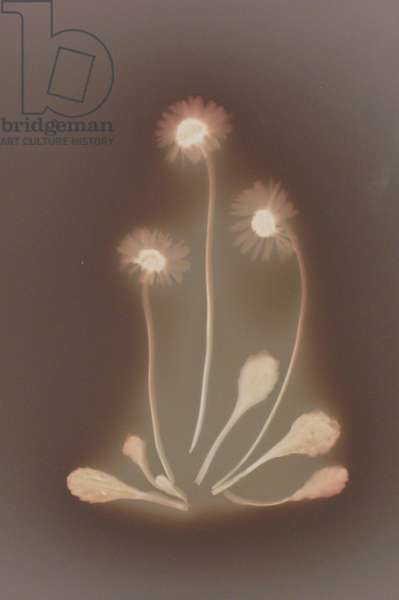 Three Daisies with Leaves (photogram)