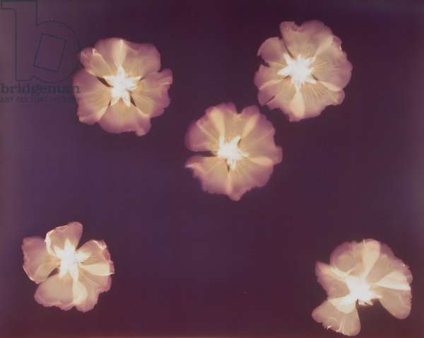 Five Camellias (photogram)