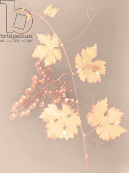 Grapevine (photogram)