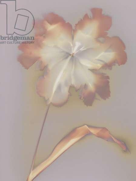 Blousy Tulip (photogram)