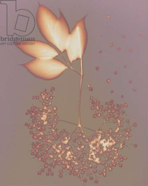 Hydrangea (photogram)