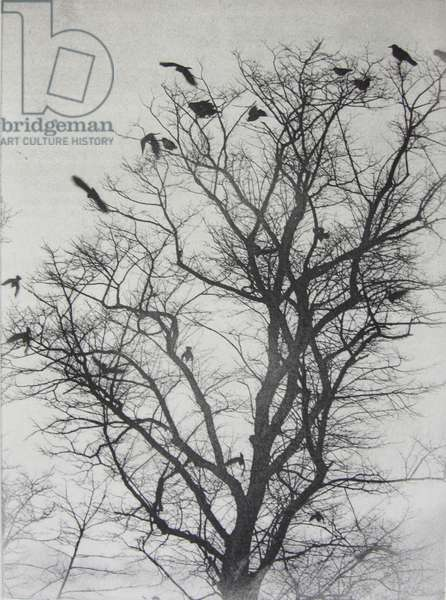 Rooks in a Spindly Tree, 2015 (solar plate etching)