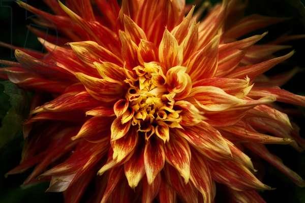 Fiery Flower, 2020, (photograph)