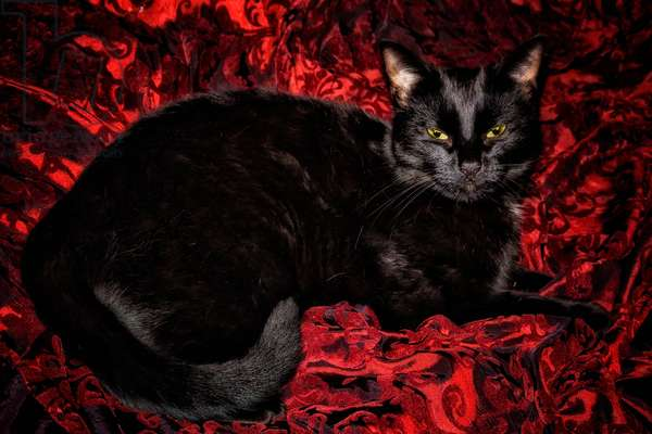 Black Cat in Regal Repose, 2020, (photograph)