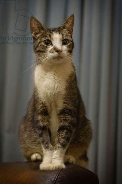 Regal Tabby Cat, 2020, (photograph)