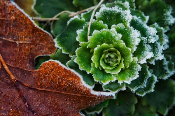 Frosted Lettuce and Leaf, 2020m (photograph)