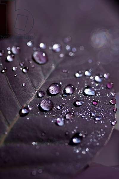 Purple Leaves II