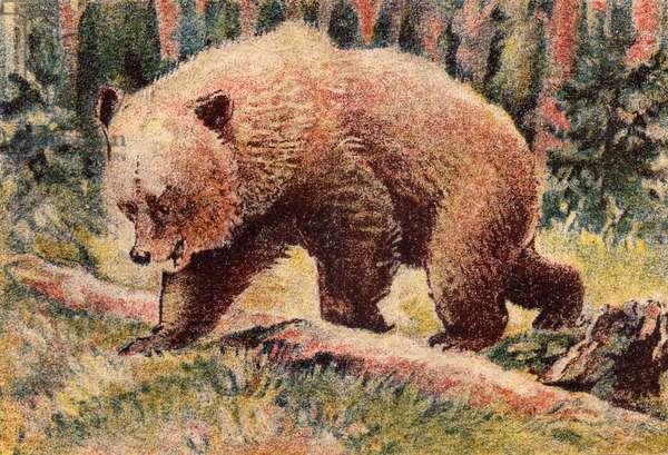 Brown bear, 1940 (colour litho)