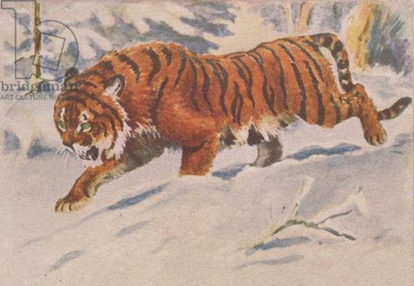 Tiger, 1958 (colour litho)