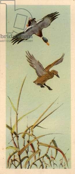 Wild Ducks Landing, 1954 (litho)