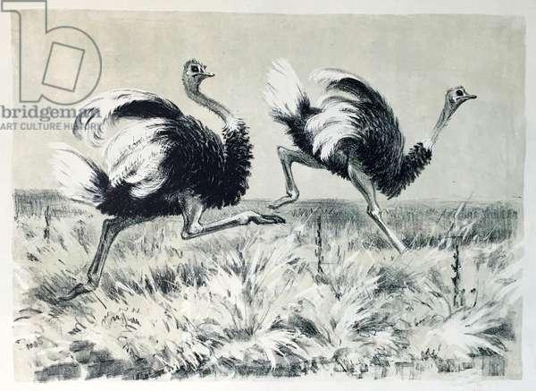 Ostriches, 1946 (lithograph)