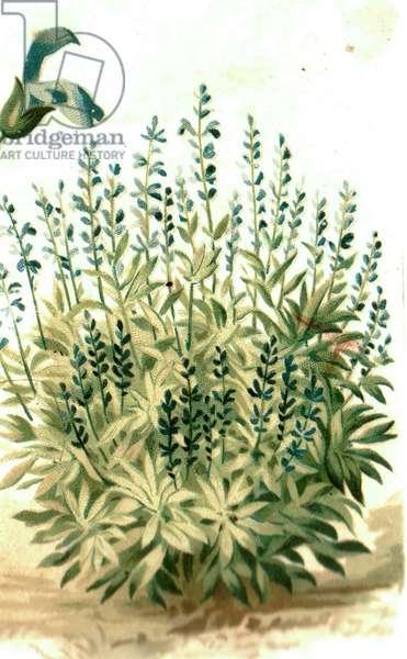 Plant, 1900s (colour litho)
