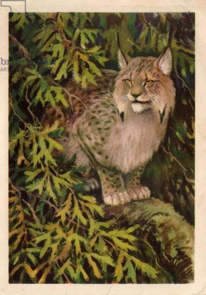 Lynx, 1954 (litho)