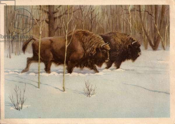 Bison, 1954 (litho)