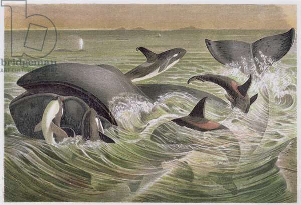"Bowhead and Killer Whales, plate from ""Brehms Tierleben: Allgemeine Kunde des Tierreichs"", vol.3, p.600, published by Bibliographisches Institut, 1891 (colour litho)"