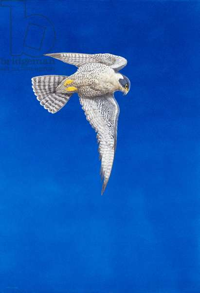 Peregrine Falcon ( watercolour & gouache on paper )