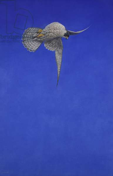 The Corkscrew Stoop; Peregrine Falcon